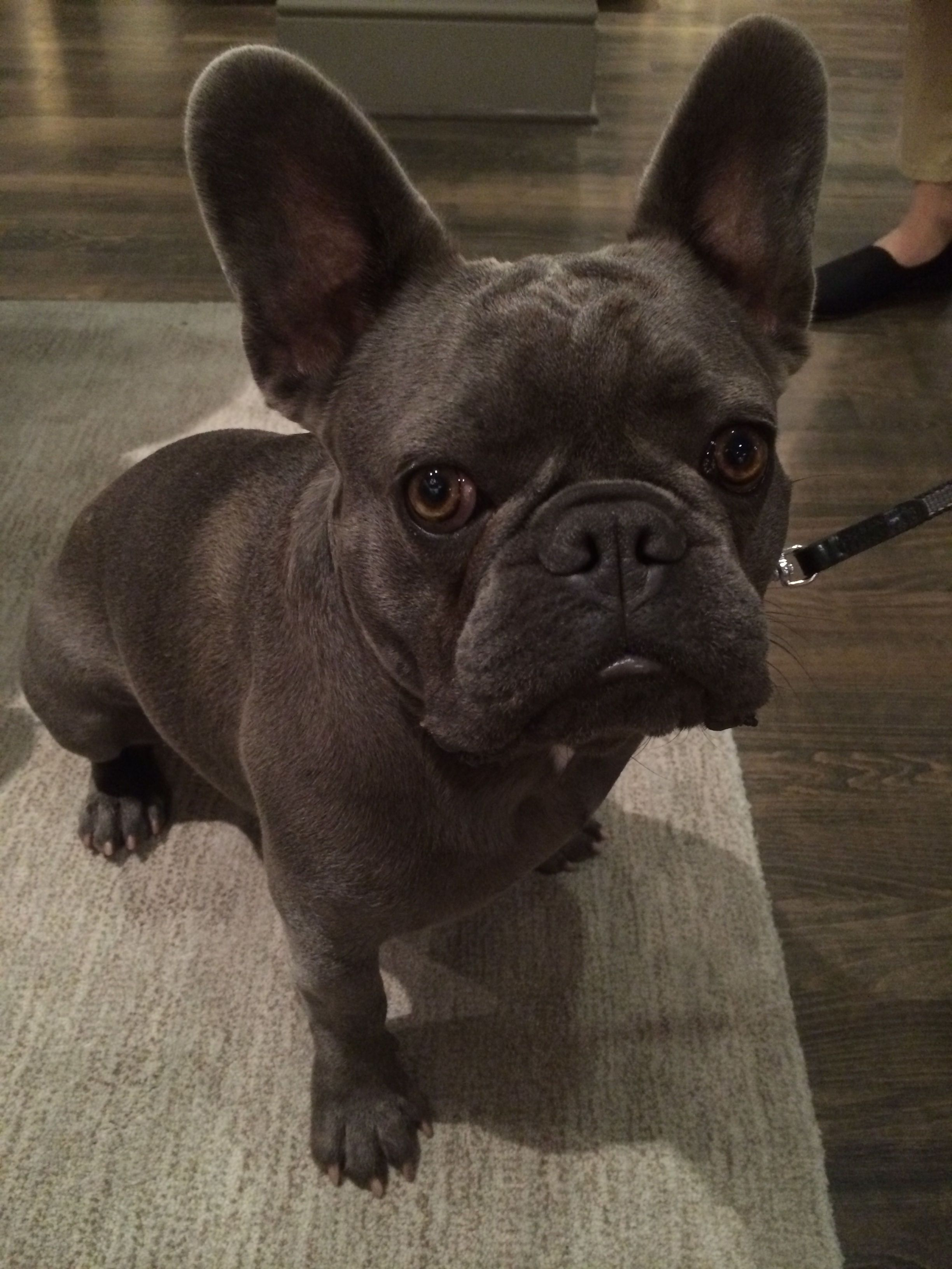 Posts about on Cute french bulldog, Cute