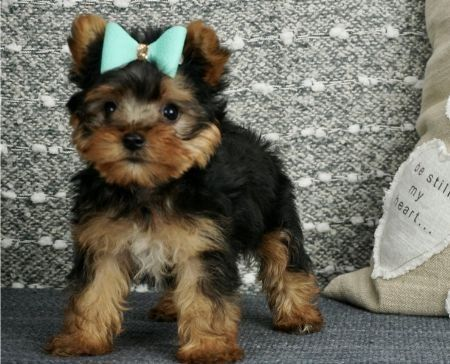 QUALITY TINY YORKIE PUPPIES FOR SALE ADOPTION from South