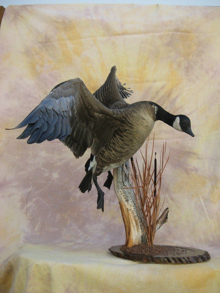 Canada goose mounts lesser canada goose mount harvested for Fish taxidermy near me