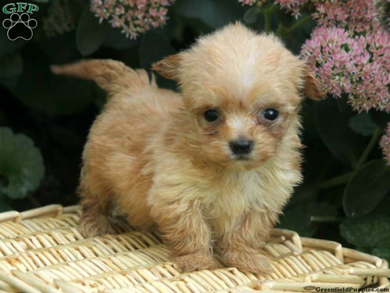 Ginger Maltipoo Puppy For Sale In Columbia Pa Maltipoo Puppy Puppies Maltipoo Puppies For Sale