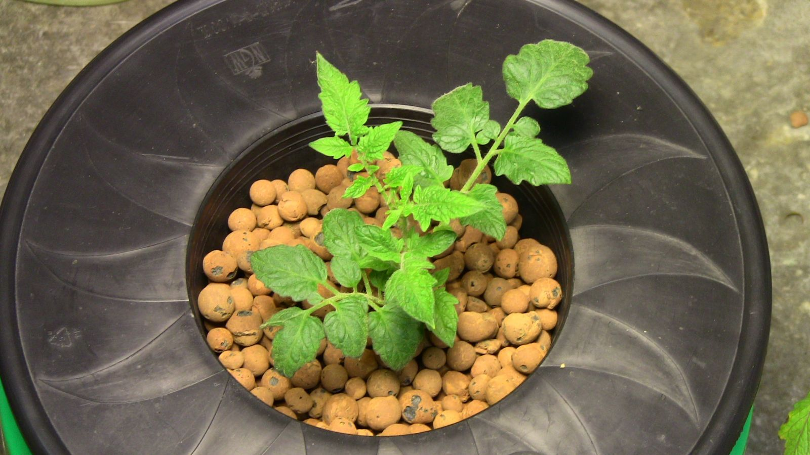 how to grow tomatoes indoors hydroponically