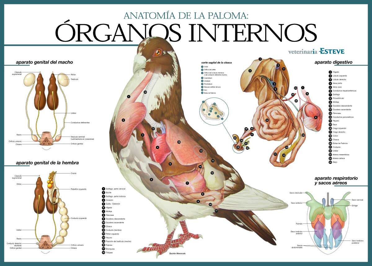 Internal Organs of the Pigeon | pigeons | Pinterest | Bird, Power ...