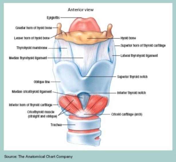 Airway anatomy | Theatre / OT / OR Nursing | Pinterest | Anatomy