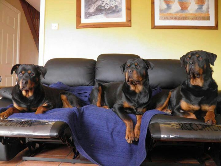 Saturday Night With The Rottweiler Boys Rottweiler Pinterest