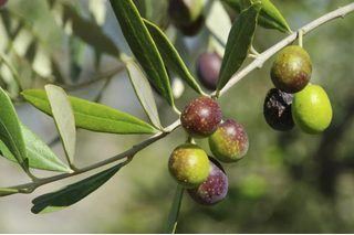 How To Grow Olive Trees From Cuttings Growing Olive Trees Olive