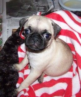 Why Are My Dog S Eyes Red And Inflamed Dog Names Pugs Black