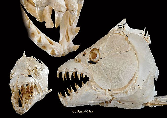 Goliath Tiger Fish Skull | Animal Anatomy | Pinterest | Tigers, Fish ...
