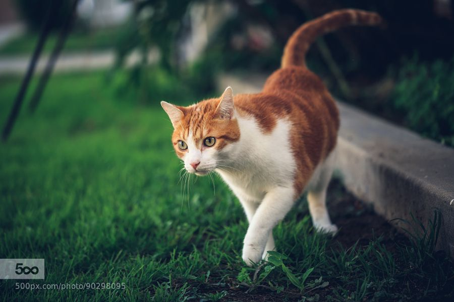 A Walk Through the Yard by Bartfett. For more photos: http://photos-cats-kittens.tumblr.com @go4fotos