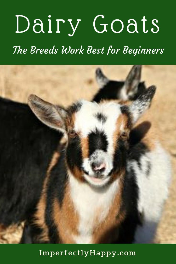 Best Dairy Goats for Beginners is part of Best Dairy Goats For Beginners The Imperfectly Happy Home - The best dairy goats for beginners  Dairy goats are a wonderful addition to any homestead, small or large  Great for fresh milk, cheese and more