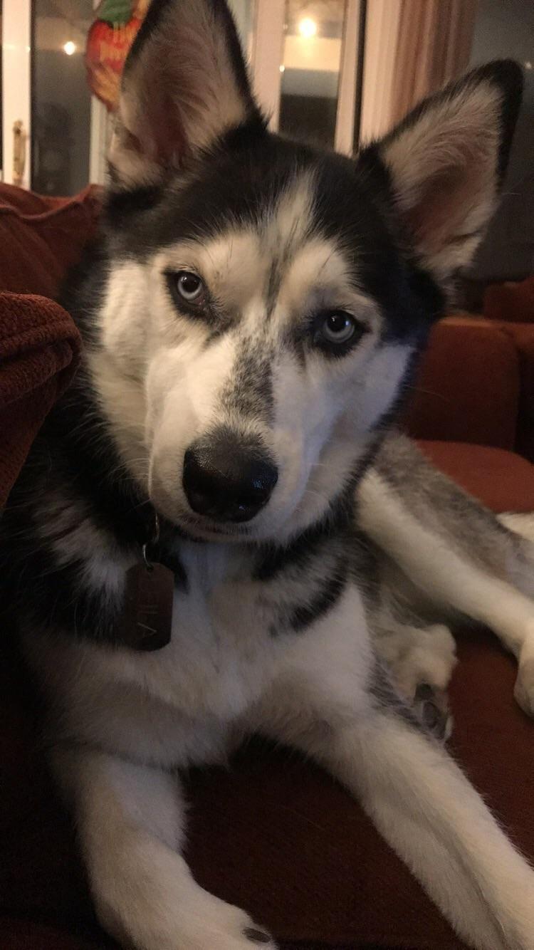 Siberianhusky Husky Hund Husky Welpen Husky