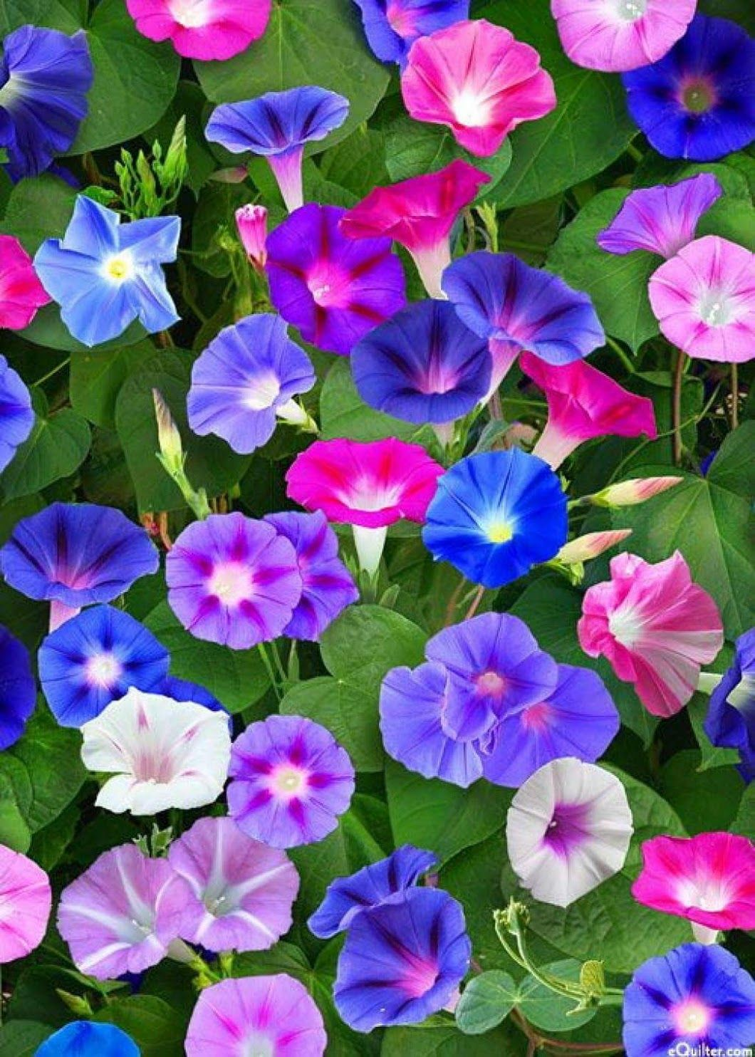 Morning Glory flowers are a firm favourite! Morning