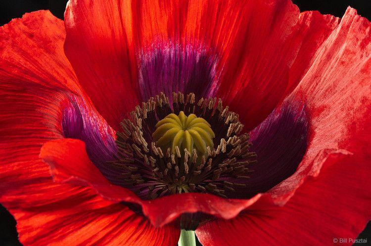 Papaver somniferum 'Turkish Red' strain; breadseed poppy