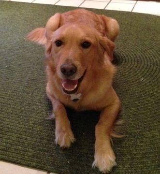 Adopt Zach On Golden Hope Golden Retriever Rescue Dogs I