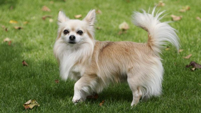 Chihuahua Dog Breeds Dog Breeds Cute Dogs Chihuahua Dogs