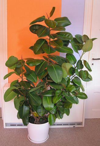plante verte caoutchouc