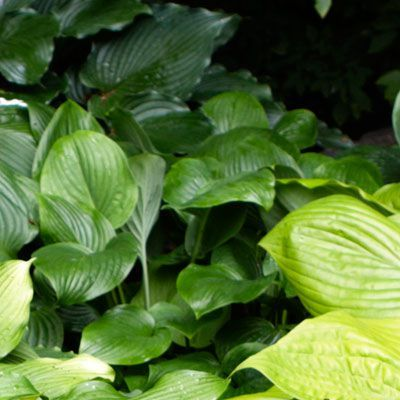 Grow a Lush Shade Garden With Hostas is part of Shade garden, Hostas, Narrow garden, Fragrant flowers, Garden, Leaf coloring - These leafy perennials are showy, shade tolerant, and a cinch to grow—and new varieties offer a widerthanever range of leaf color, size, and texture  Read on to learn how to pick and plant them to create a sensational landscape