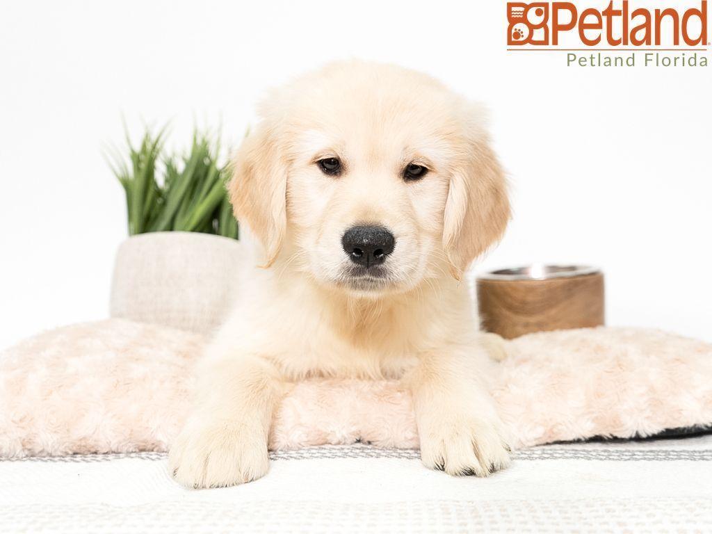 Petland Florida Has Golden Retriever Puppies For Sale Check Out