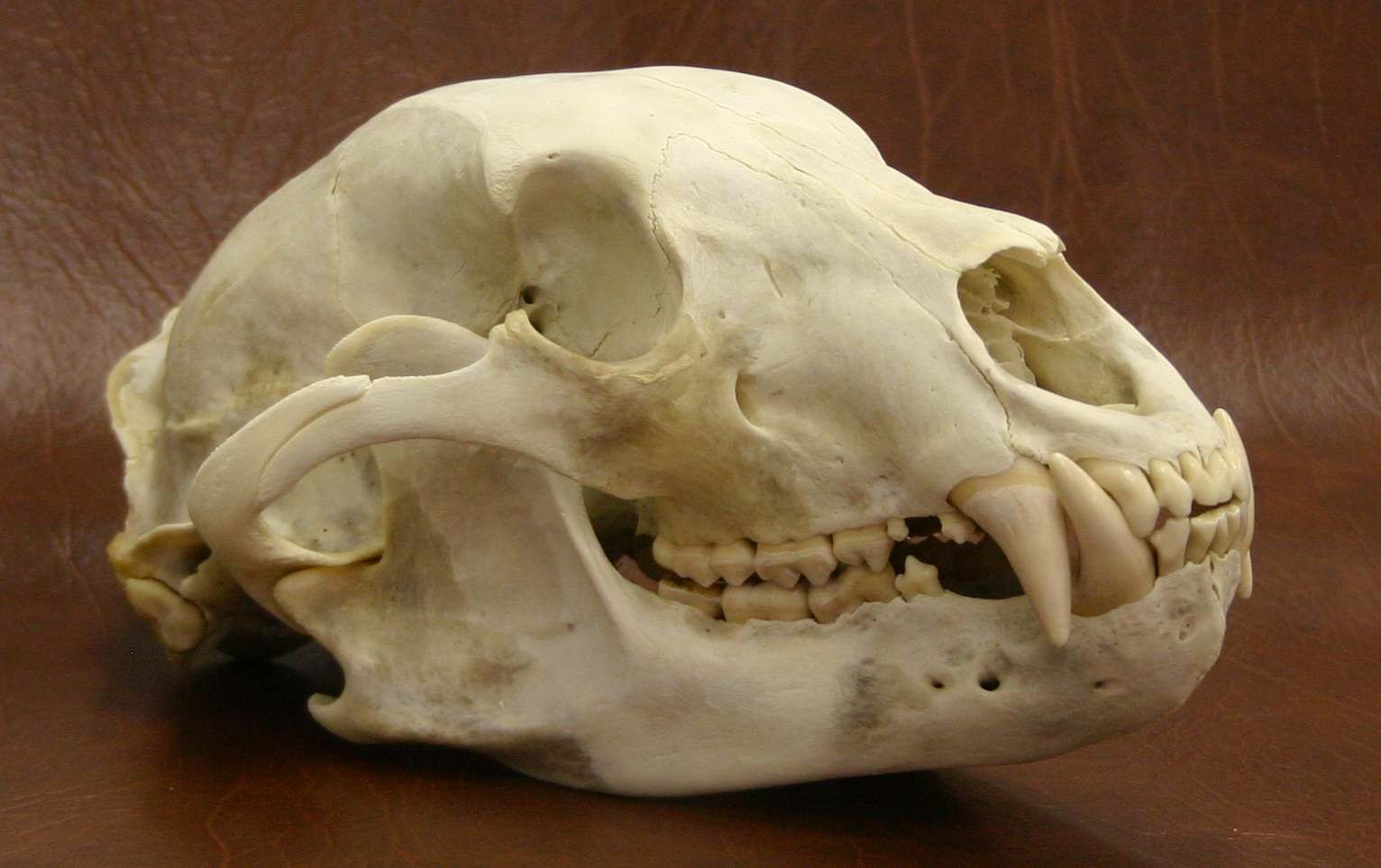 Bear Skull Google Search You Ll Have That Forever