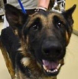 Urgent German Shepherd Missing Rear Leg Past Due Out Date The Following Dire Words Are Shared On The Dog S Dog Sounds Cute Animal Photos Animals Friends