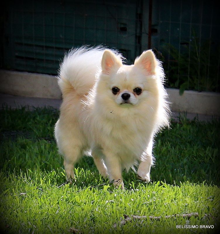 Pin By Rhonda Rascher Henderson On Oh Chihuahua Cute Cats And Dogs Cute Chihuahua Chihuahua Love