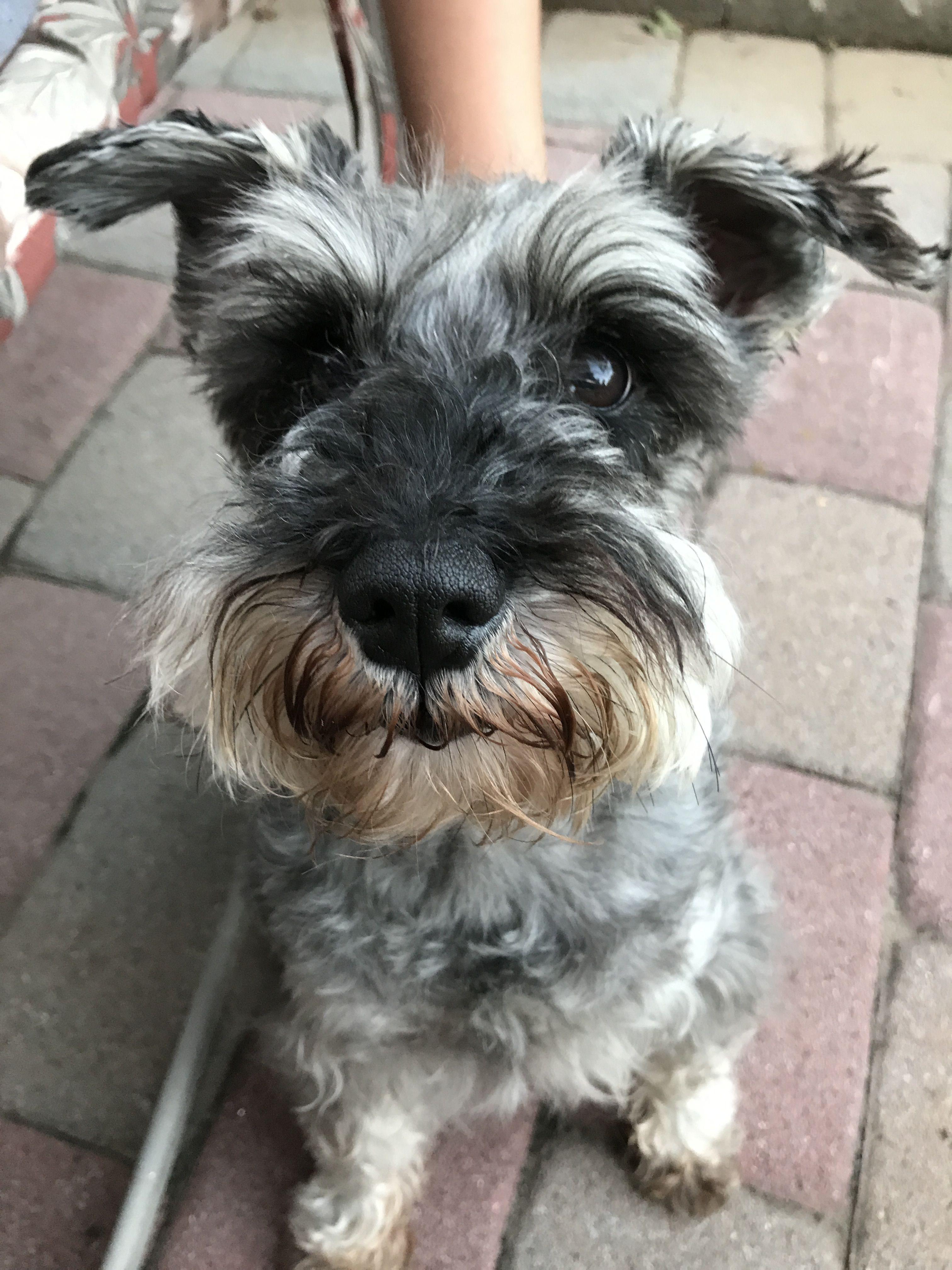 Cookie miniature schnauzer puppies schnauzer puppy