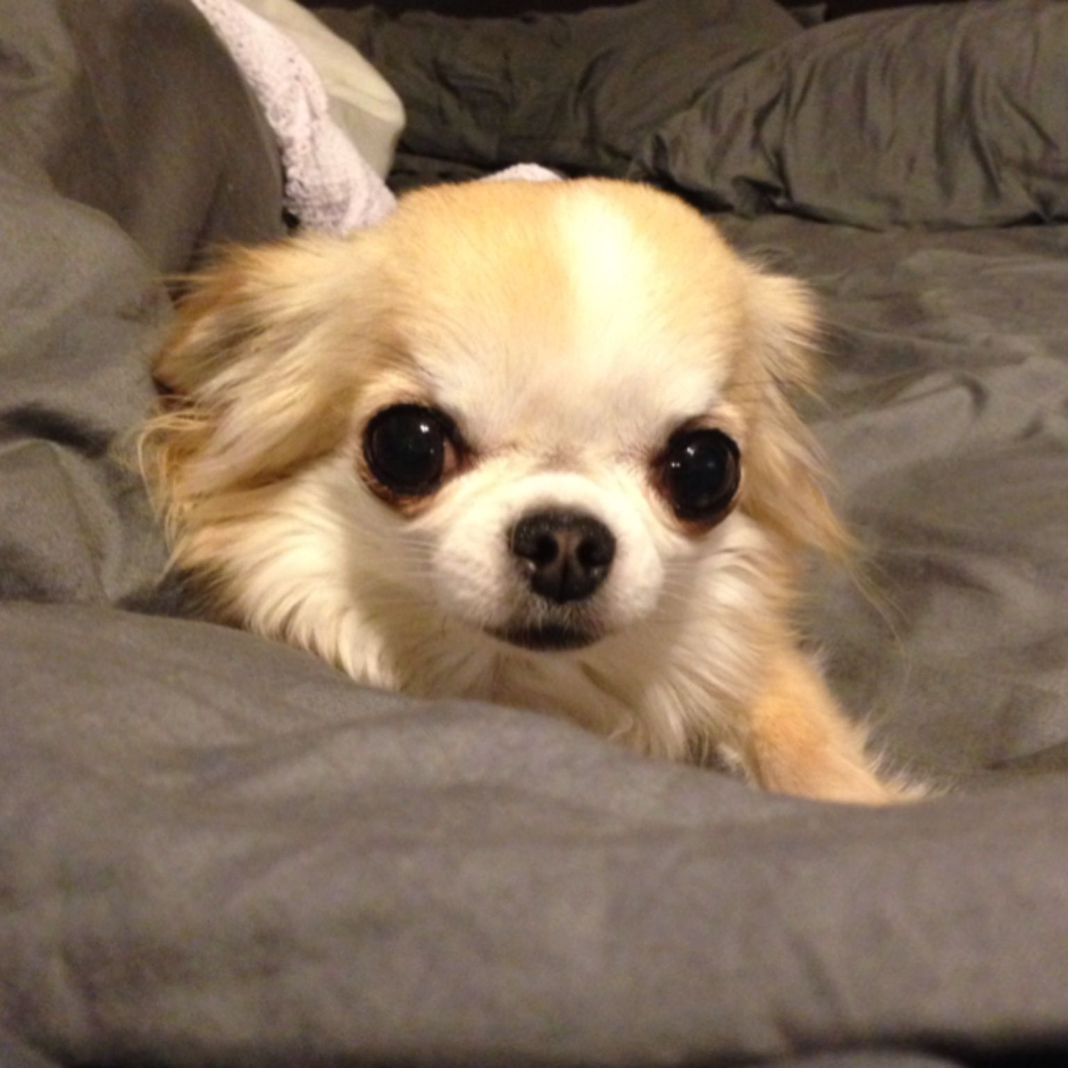 Long Haired Chihuahua Rescue
