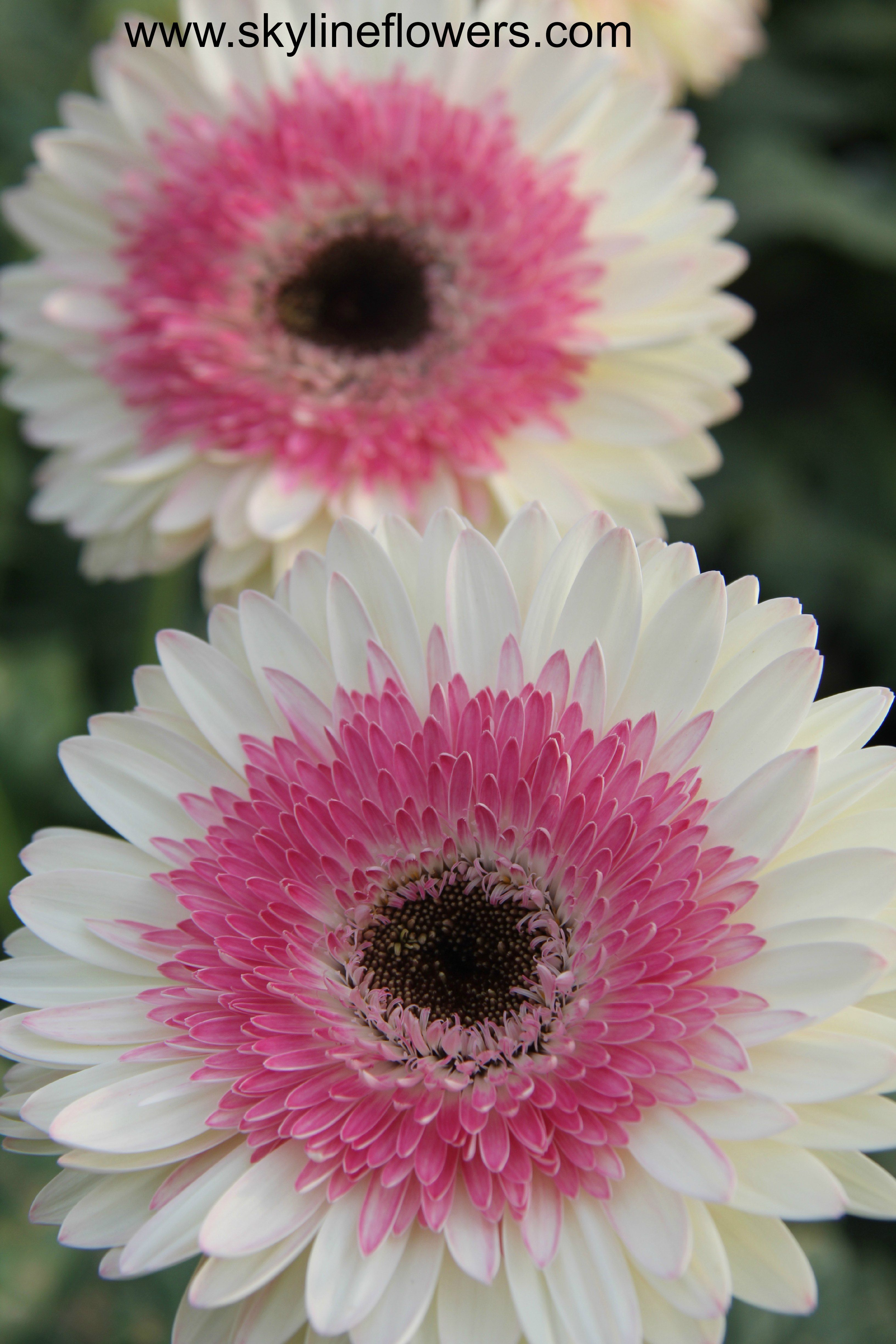 Happy Friday We Have A Number Of Bicolor Gerberas To Choose From At Skyline Flower Growers Enjoy Skylineflowers Beautiful Flowers Flowers Flower Garden