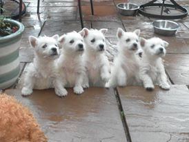 2 West Highland White Puppies For Sale Worksop Nottinghamshire Pets4homes Westie Puppies Westie Puppies For Sale White Puppies