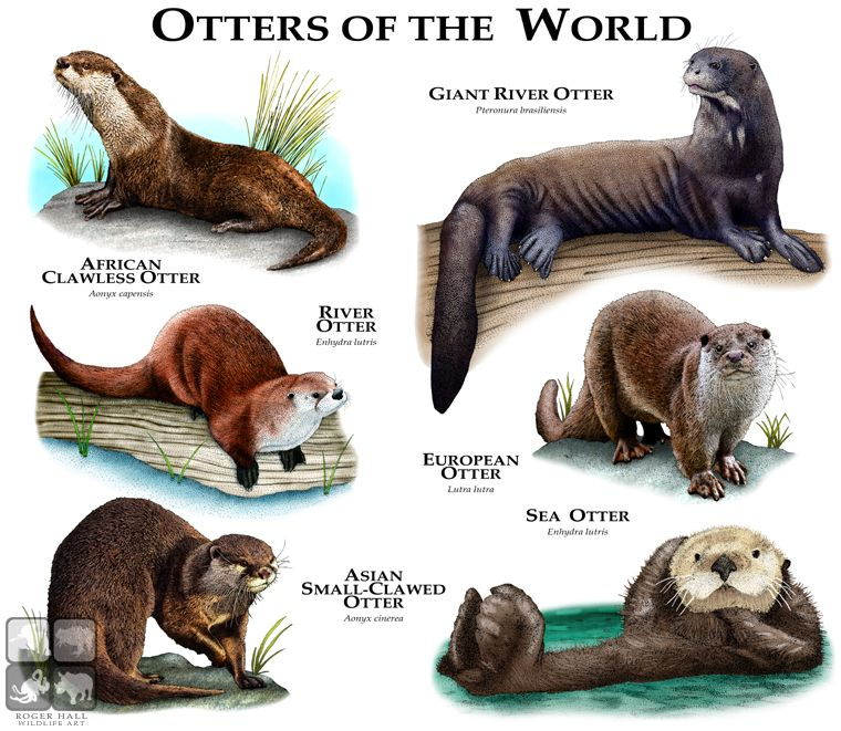 Fine art illustration of various species of otters | Forestry ...