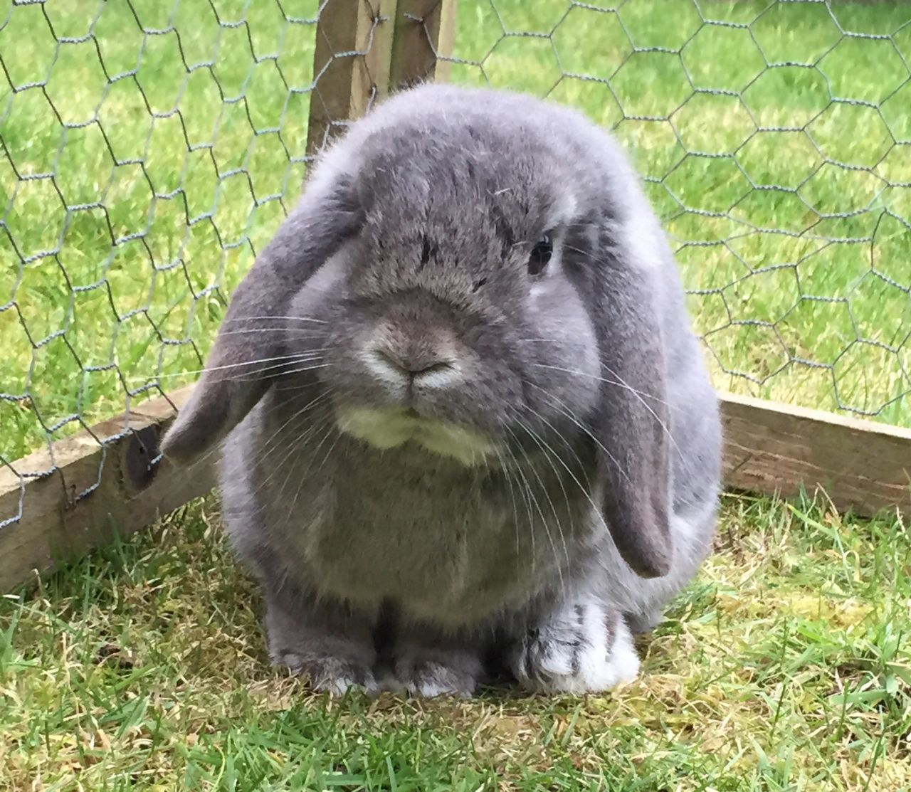 Male Blue French Lop Bristol Bristol Pets4homes French Lop Male Holland Lop