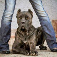 Pin By Evanclaudiadarley On Animales Divertidos Cane Corso Dog Cane Corso Corso Dog