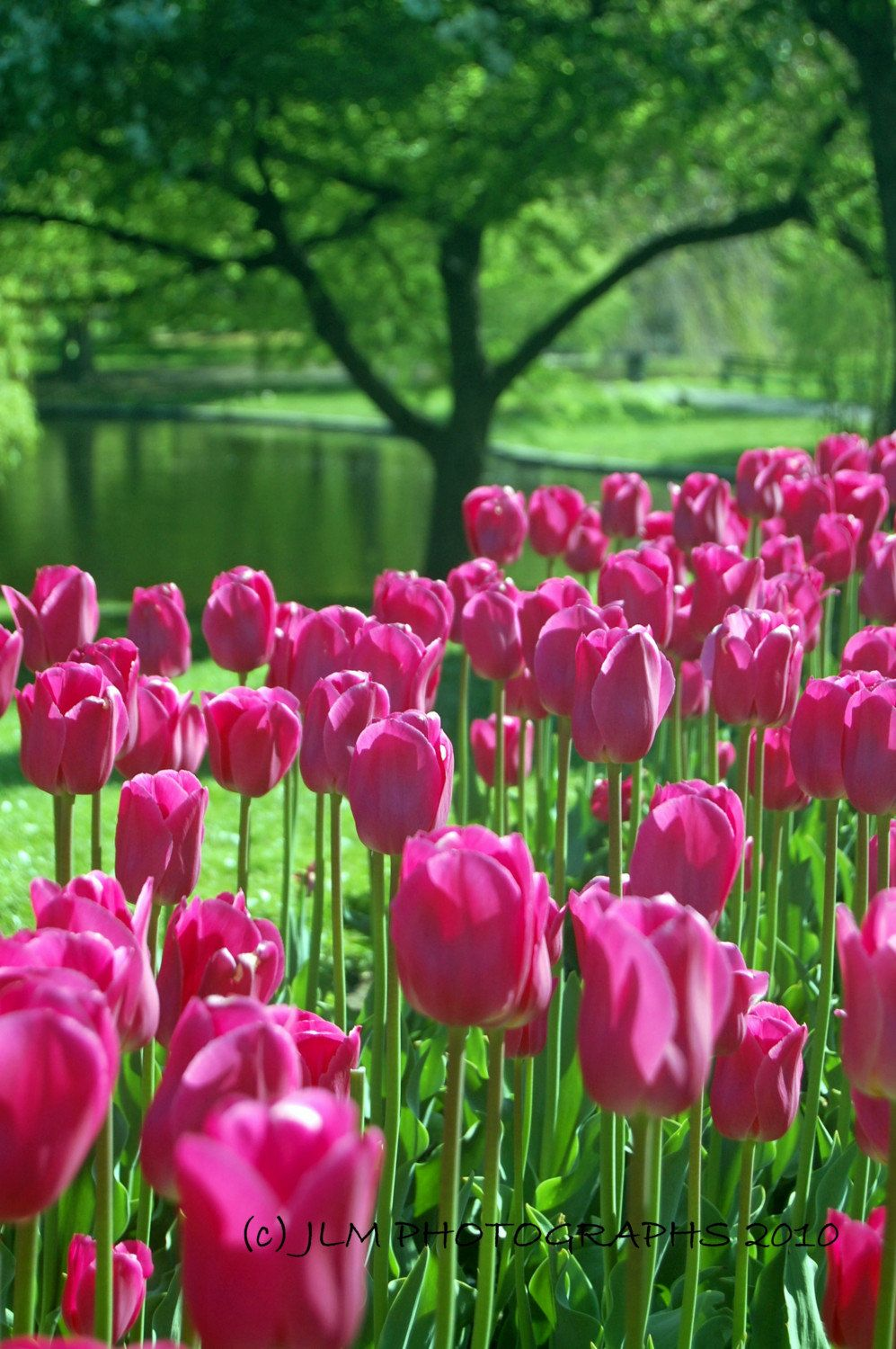 Boston Art Tulips Photo Print Home Office Decor Flower Etsy Pink Tulips Flower Pictures Flowers Photography