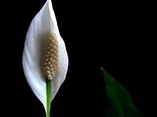 Peace Lily Care and repotting instructions Plants Pinterest