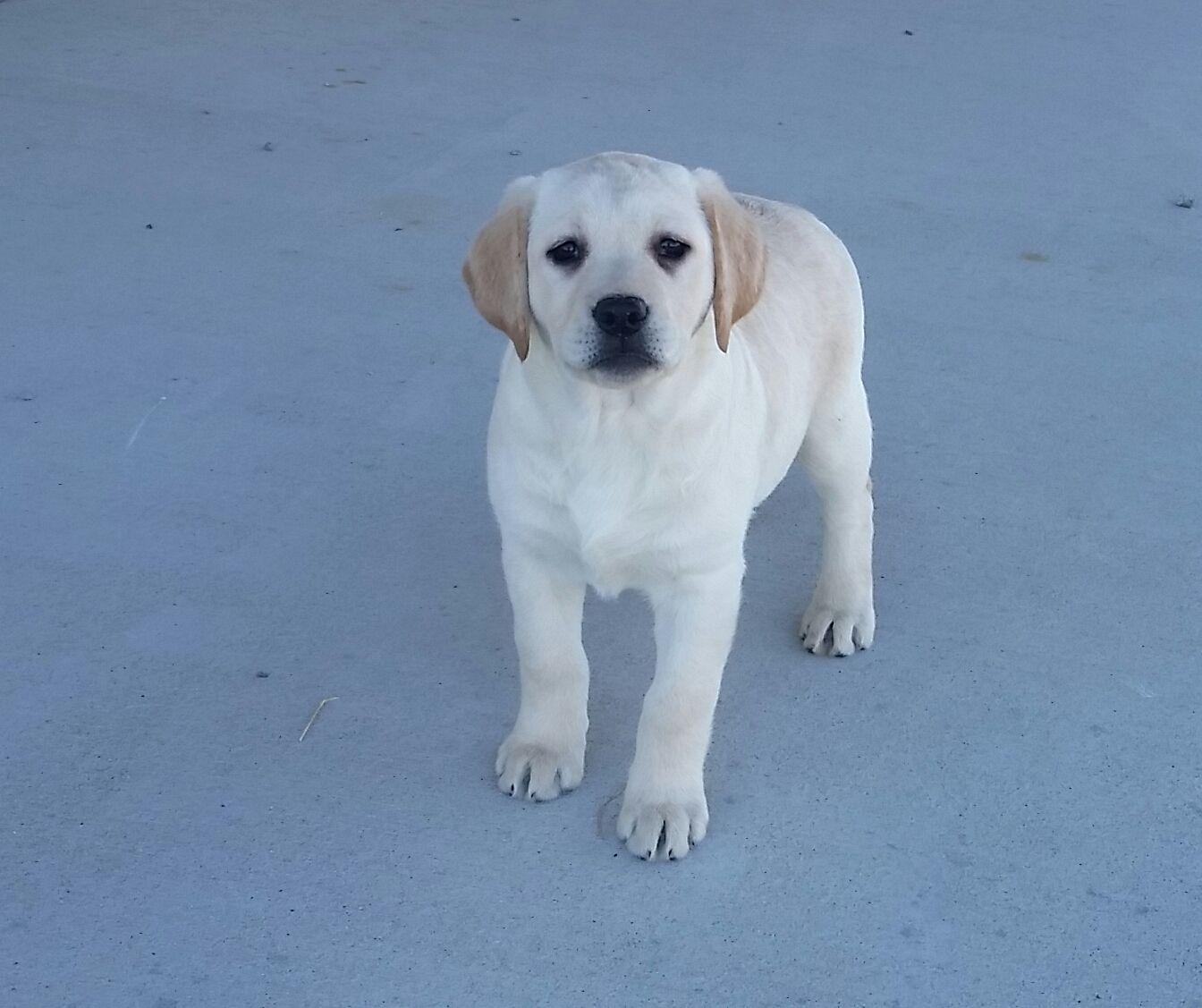 Taiya A Female Akc Labrador Puppy For Sale In Woodburn Indiana Find Cute Labrador Retriever Puppies Labrador Retriever Labrador Retriever Puppies Labrador