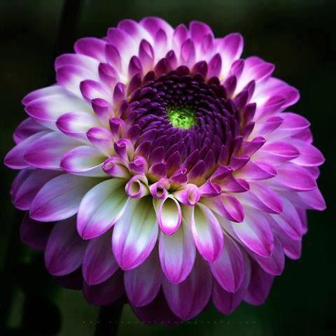 Crisantemo (Chrysanthemum) - Significa Verità