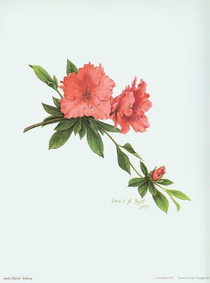 Flower Illustration Watercolor Tattoo Flower Azalea Flower Azaleas