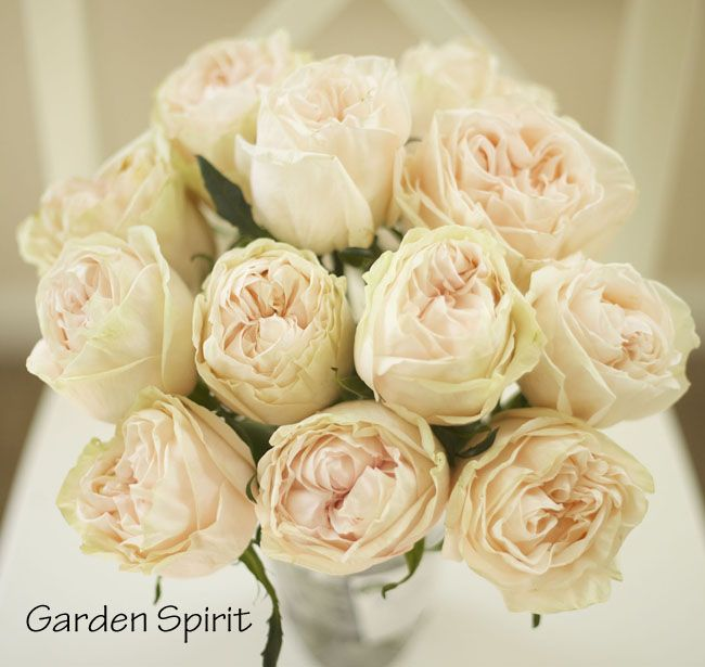 Peach Garden Rose garden spirit, blush peach garden rose | ff - rose color studies