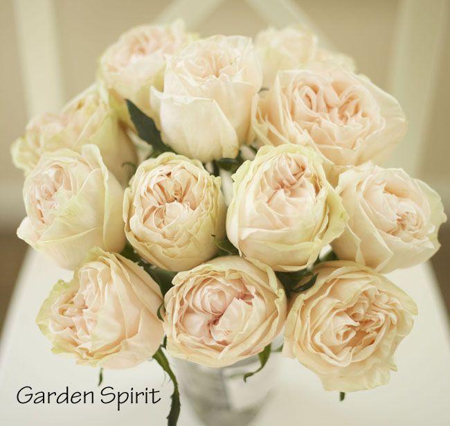 Attractive Garden Spirit, Blush Peach Garden Rose