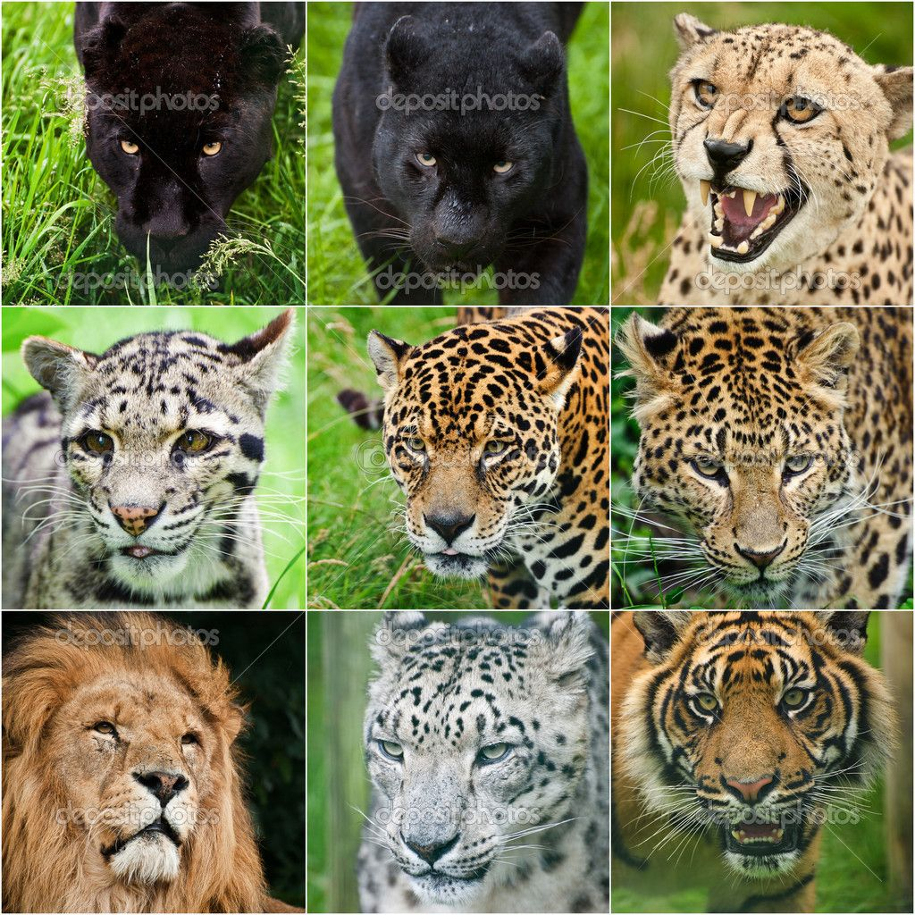 Compilation of portraits of all big cats 9 images — Stock Photo ...
