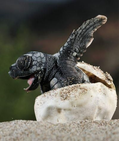 Baby #Turtle coming out of shell, #Welcome! | Turtles (for my Devy