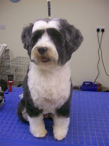 Image Result For Short Grooms For Tibetan Terriers Dog Haircuts Tibetan Terrier Dog Grooming