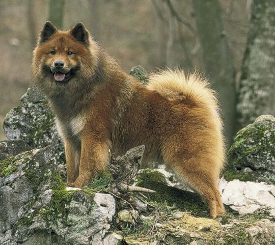 The Eurasier was bred in 1950s Germany as a sled dog. It