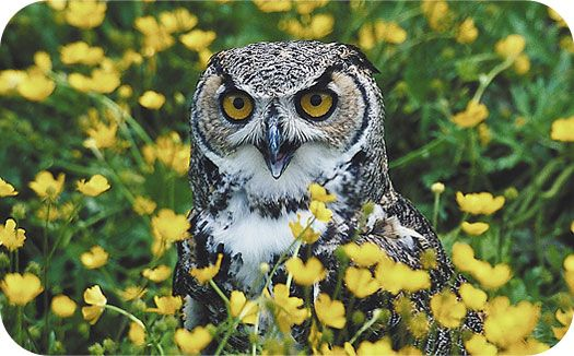 The Owl Is Sacred To The Greek Goddess Of Learning Native Americans