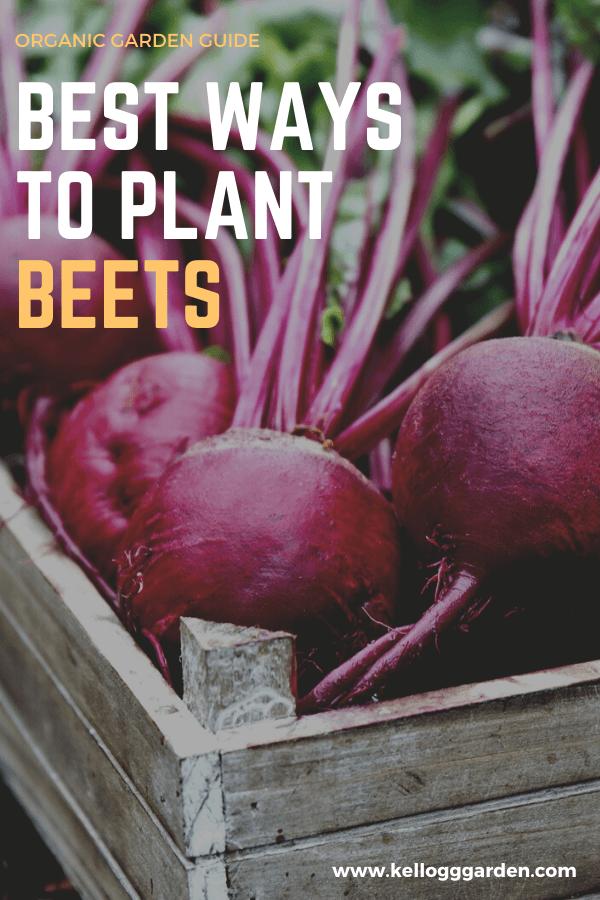 Best Ways To Plant Beets Plants Growing Beets Organic Vegetable Garden