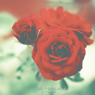 اجمل وردة عيد الحب 2016 احلى ورده في عيد الحب Valentines Flowers Rose