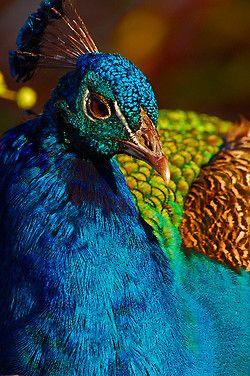 mayfield park 087 peacocks bird and animal