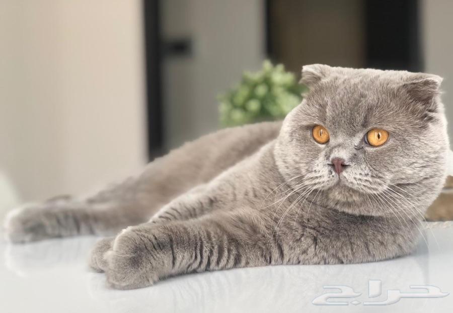 سكوتش فولد ذكر تزاوج Animals Cats
