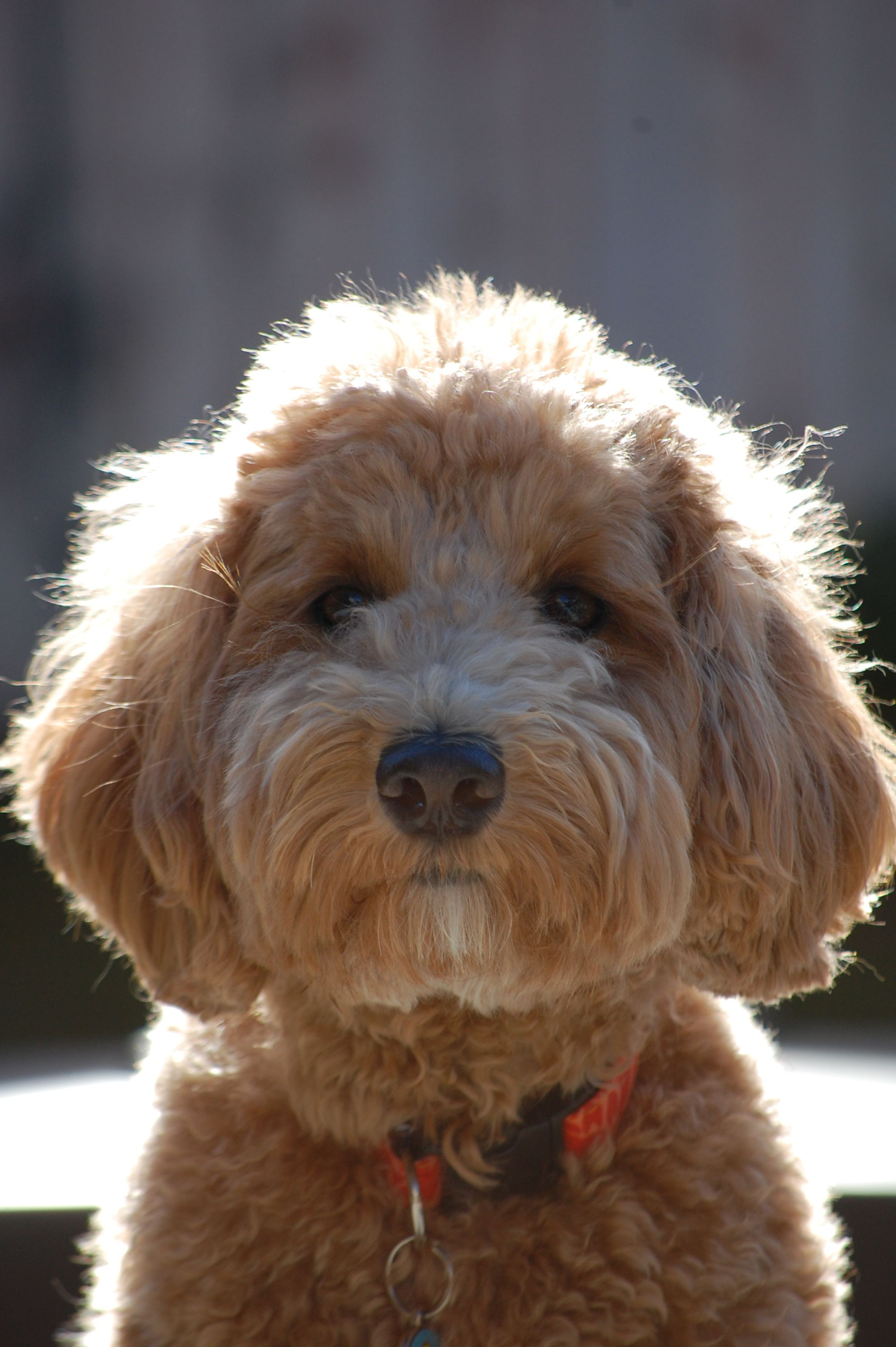 Goldendoodle Faithfuldoodles Lulu One Of Zoey S Puppies Christina Parsons Maria Neves Fowler Goldendoodle Dogs Dog Grooming