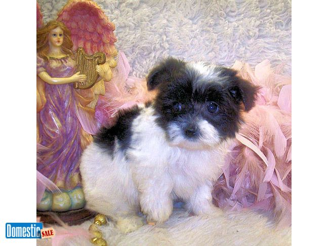White Teacup Maltipoo Puppies For Sale White Black White Teacup