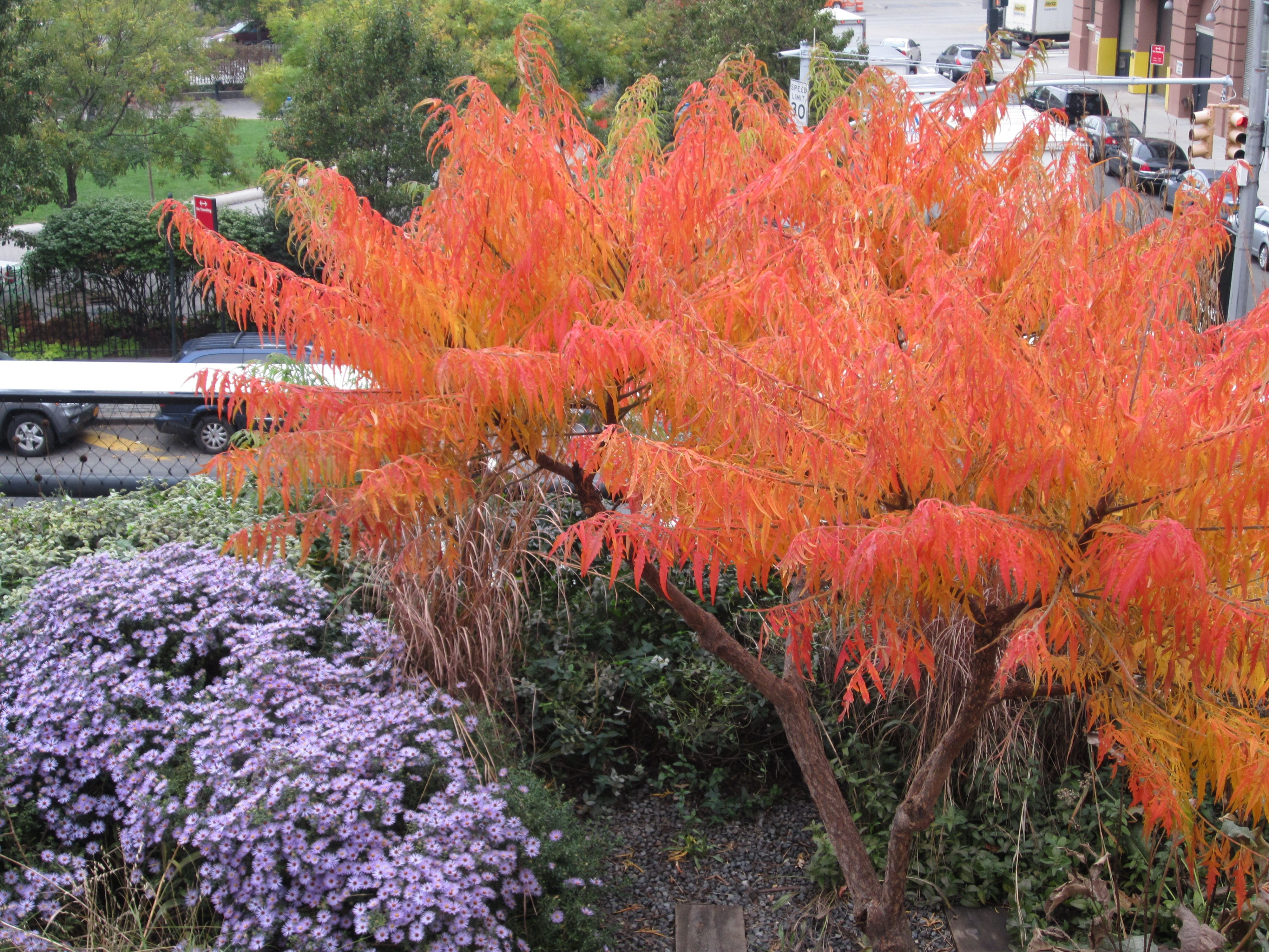 Asters and sumac fall colors on the high line nyc